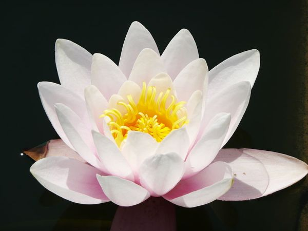 Karma -The Lotus Flower Thrives in clean and Dirty water
