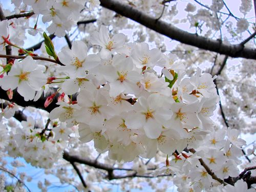 Haiku: The First Day Of Spring... cherry blossoms  fill the air