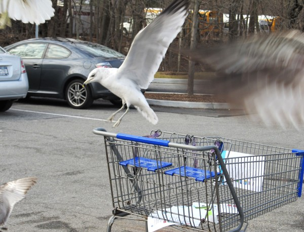 Photo 101-Week 3: From Color to Landscape - Seagull in mid flight showing blur and movement