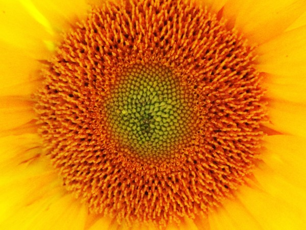 Weekly Photo Challenge: Yellow -  Center of a Sunflower