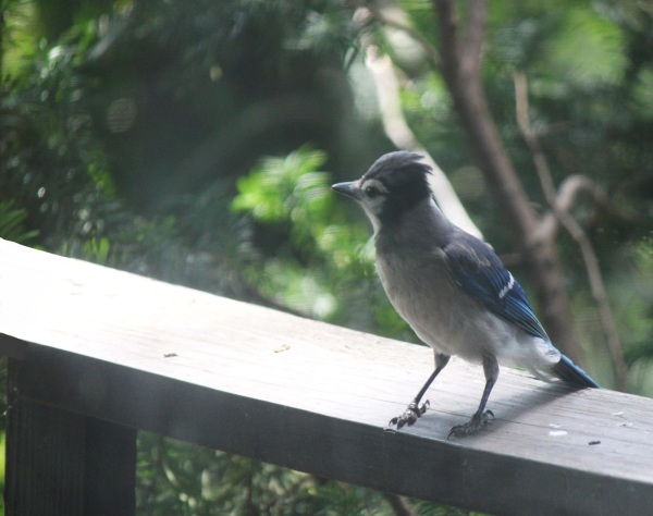 Weekly Photo Challenge: Rule of Thirds - A Bluejay visits
