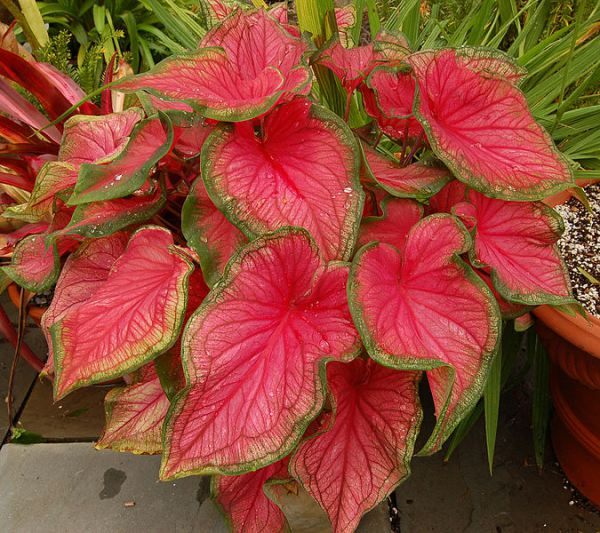 Women's History Month: Curriculum Of A Mom _ Caladium plant of love