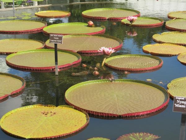 Weekly Photo Challenge: AFLOAT...  lotus pad