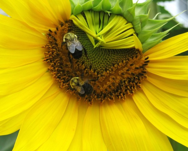 Weekly Photo Challenge: CLOSE UP - A macro shot fav of mine. Bees on a sunflower that isn't fully open.