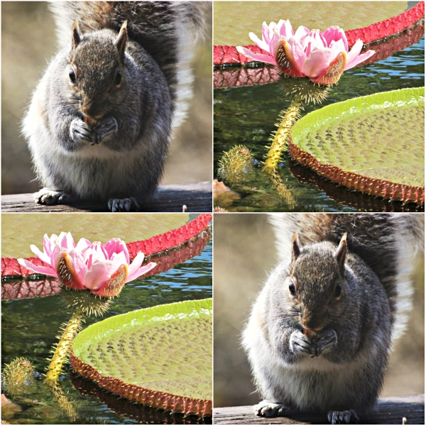 Weekly Photo Challenge: CLOSE UP - A macro shot favorite of mine. squirrel eating a nut and  a water lily