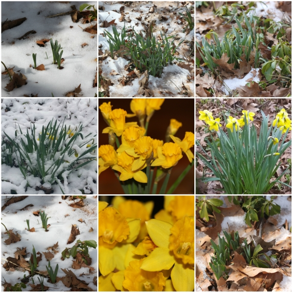 Weekly Photo Challenge: FUTURE... A Daffodil flower from bud to bloom and back again