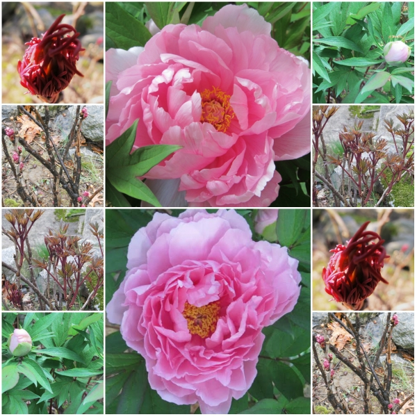 Weekly Photo Challenge: ANTICIPATION - From Peony bud to flower